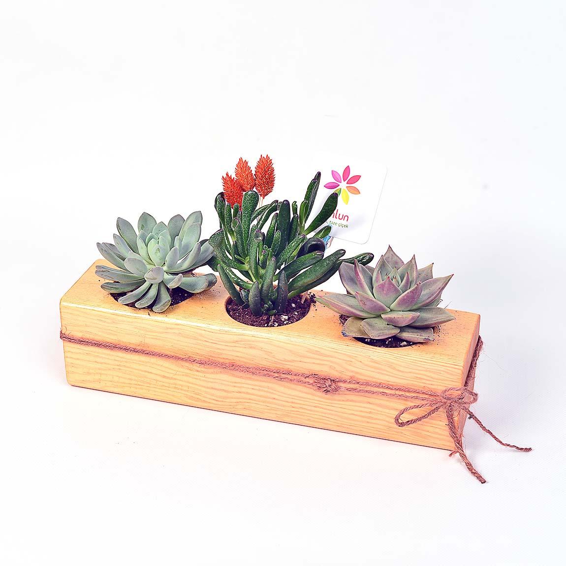 Fresh Eyes - Sukulent ve Terrariumlar - Lunlun Çiçek
