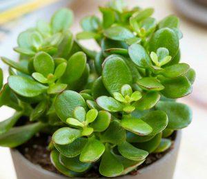 Evimize şans Bereket Iyi Enerji Iç Huzuru Getiren Bitkiler