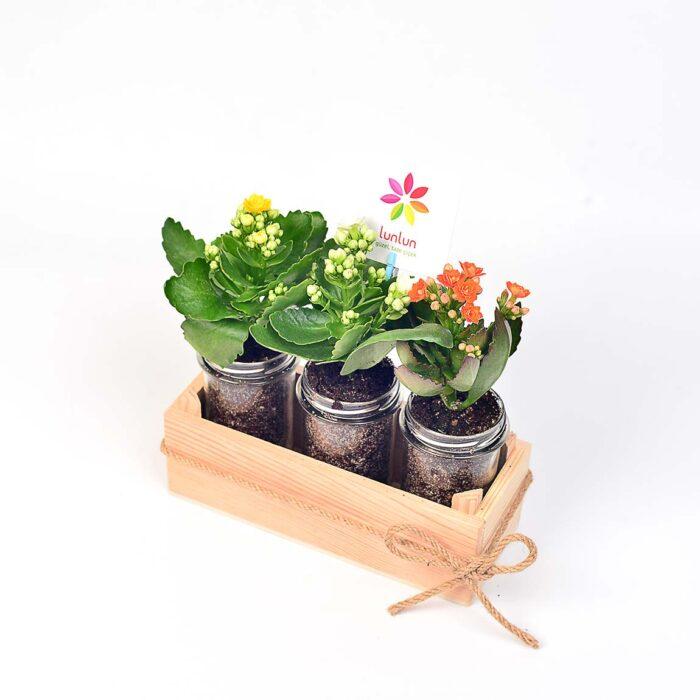Üçlü Kalanchoe - Lunlun Çiçek
