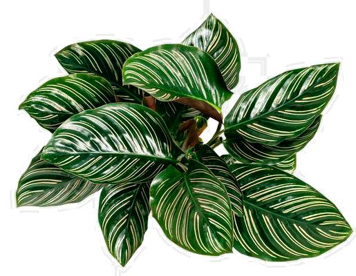 lunluncicek Calathea Ornata